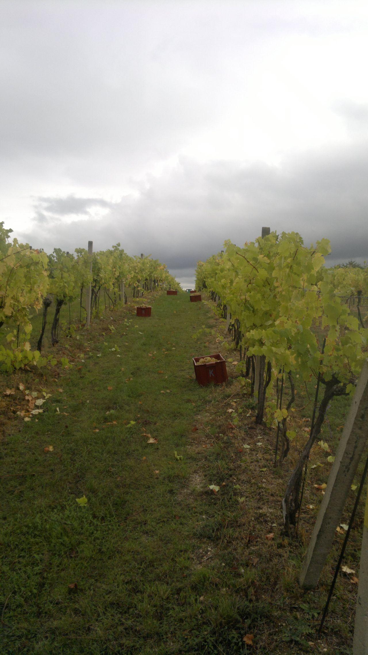 Ledce - vinobraní